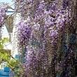 初夏の陽気続きフジも咲く