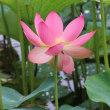 郷土の森公園「修景池」の蓮が開花してます
