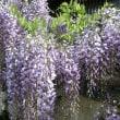 ご近所に咲く 藤の花