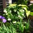片付け虫は、何故かわたしの意に反した所で活躍してしまい、庭のお花で気分転換。