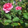 色鮮やかに バラのうらら
