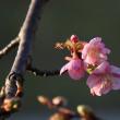 咲き出した河津桜