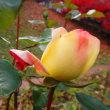 美しさ保つ終焉のバラ