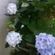 日本紫陽花、昔からの色