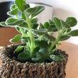 観葉植物アロマティカス