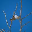 クワコ(カイコガ科)の繭