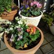 テラコッタ鉢に寄せ植え