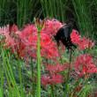 9月13日  彼岸花とアゲハチョウ