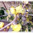 ギリシア語で「冬の花」(^^♪とても甘い良い香りがし、春の予感と幸福感を感じさせてくれる「ロウバイ(蝋梅)」