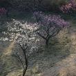 一筋の 光を浴びて 浮かぶ梅