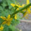 茶臼山でミヤマトリカブトとエンシュウツリフネが咲いた。(8月23日)