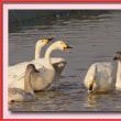 印西市の白鳥