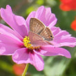10月の庭・・・秋桜・・・蝶