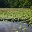 睡蓮・極楽寺山蛇の池