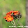 オシロイバナとジュツダマの苗を移植