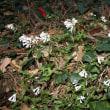 「おはようの花」 サツマイナモリ 3月