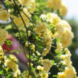 英勝寺の白い藤をご堪能ください。