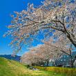 長野アークスの桜