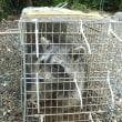 今年に入って二匹目のアライグマ 捕獲出来ました。