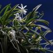 フウラン「山採り吊素焼き玉付け」の花