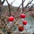 サルトリイバラの赤い実