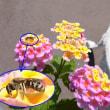 ランタナの実とニホンミツバチ?