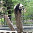 上野動物園 シャンシャン・・3