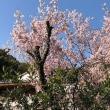 七面山 啓翁桜が咲いていました!