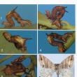 クロモンキリバエダシャクの幼虫について