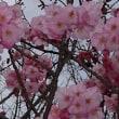 彼岸入り 広場の横濱緋桜のつづき