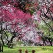花桃・桜情報は昼神サイトなどで更新してくれます。🌸