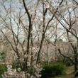 福山雅治の『 桜坂 』をアカペラで歌ってみた♪♪歌詞とメロディが良いよ♪♪