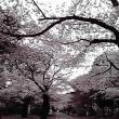 多摩墓地の桜