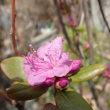 レンギョウ エゾムラサキツツジ咲きだした 札幌の春