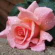 今年の薔薇