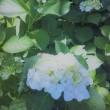 梅雨入りは 白い花から