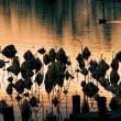 黄金色池面かき分け鴨進む