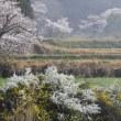 桜とユキヤナギ