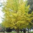 銀杏の葉色