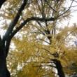 ありがとう、イチョウの木!!