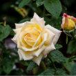 17/Oct  雨の公園の薔薇たち