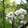 十月桜咲き出す