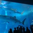 美ら海水族館にて