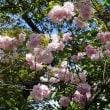 締めくくりは八重桜