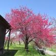 Prunus persica ❛Endo❜