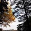 冷たい!!モコモコです・・北鎌倉東慶寺境内のイチョウ