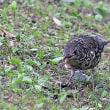 1秒5コマの世界:ミミズを食べるオオトラツグミ