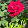 バラの咲き始め