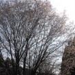 山桜が咲いた 山桜染めワークショップのご案内