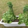 葉物野菜は夏には向かない!